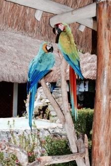 Perroquets - Cozumel