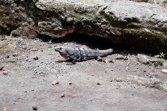 Iguane - Cozumel