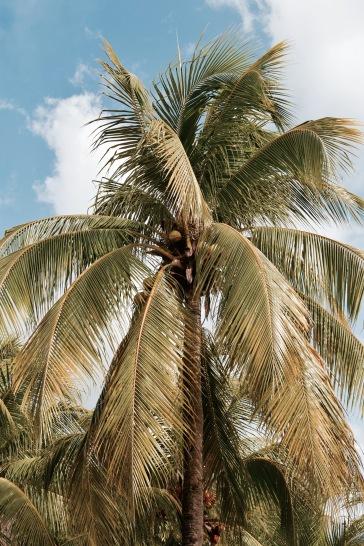 Palmier de la playa Palancar - Cozumel