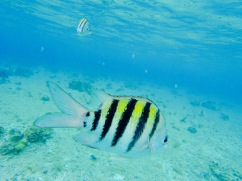 Poisson tropical -