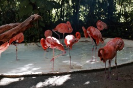 Flamants roses - Xcaret