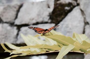 Papillon - Xcaret