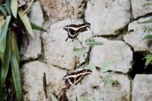 Papillons - Xcaret