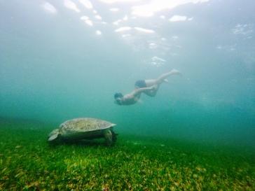 Tortue de mer qui se nourrie - Akumal