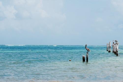 Pélican en bord de mer - Puerto Morelos