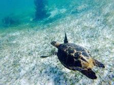 Tortue de mer - Puerto Morelos
