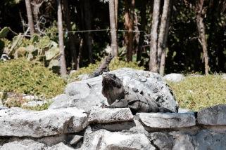 Iguanes sur les ruines - Tulum