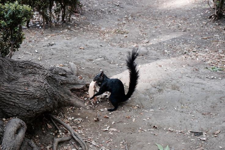 Écureuil - Coyoacan