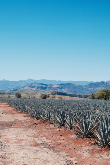 Champs d'agaves - Tequila