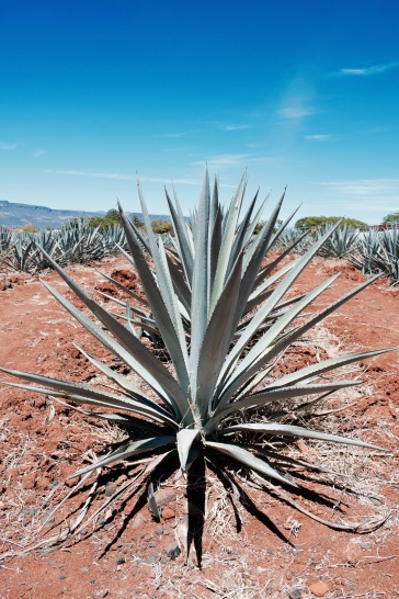 Agave - Tequila