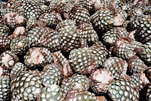 Agaves - Tequila
