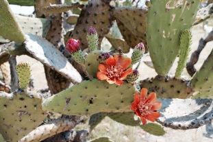 Cactus - Monte Alban