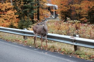 Biche - Parc National du Mont Tremblant