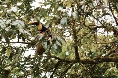 Toucan - La Fortuna